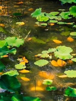 Lagoa tropical rasa com folhas de nenúfar ao sol. Foto Premium