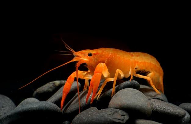 Lagosta nova das lagostas com rocha pequena.