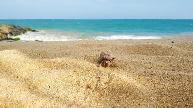 Lagostas em uma concha caminha ao longo de uma praia no oceano