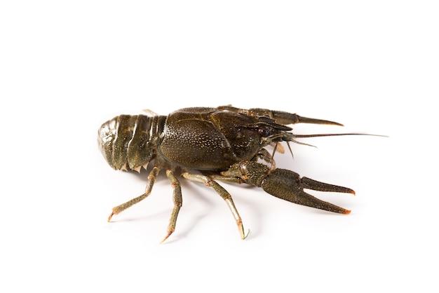 Lagostas vivem isoladas em um fundo branco. lagosta crua. lanche de frutos do mar frescos.