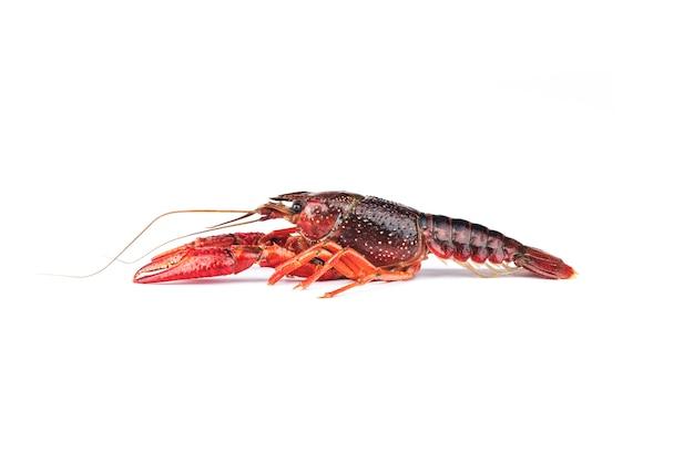 Lagostim, lagosta isolado no branco
