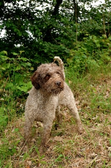 Lagotto romagnolo cão trufa