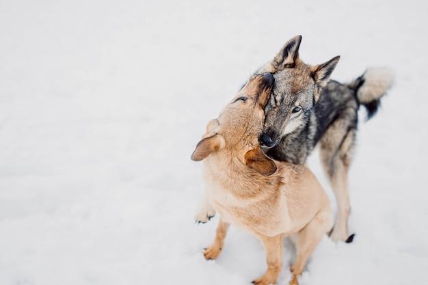 Laika brinca agressivamente com o cachorro dois cachorros brigam