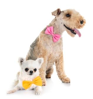 Lakeland terrier e chihuahua