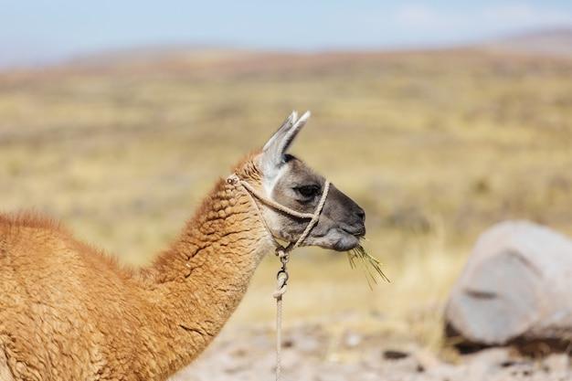 Lama em área remota da argentina
