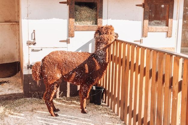 Lama em um cercado em uma fazenda da família, uma lama vermelha felpuda e fofa. retrato de uma alpaca peluda. lama é um gado de fazenda peruano.