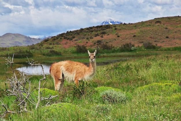Lama no parque nacional torres del paine, patagônia, chile