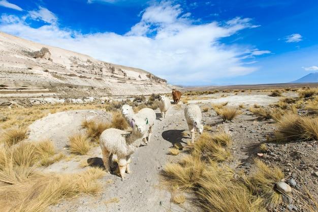 Lamas nos andes, montanhas, peru