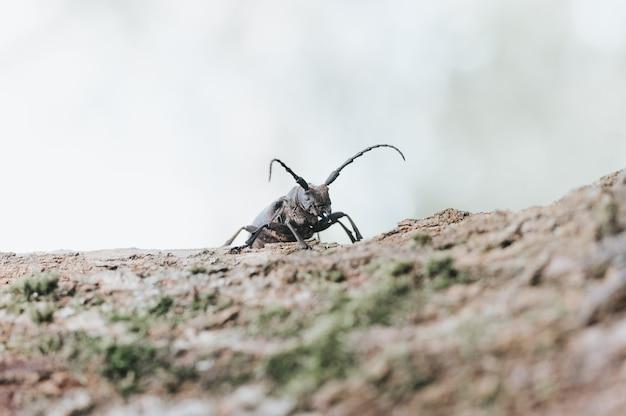 Lamia textor - inseto besouro tecelão em uma casca de árvore.