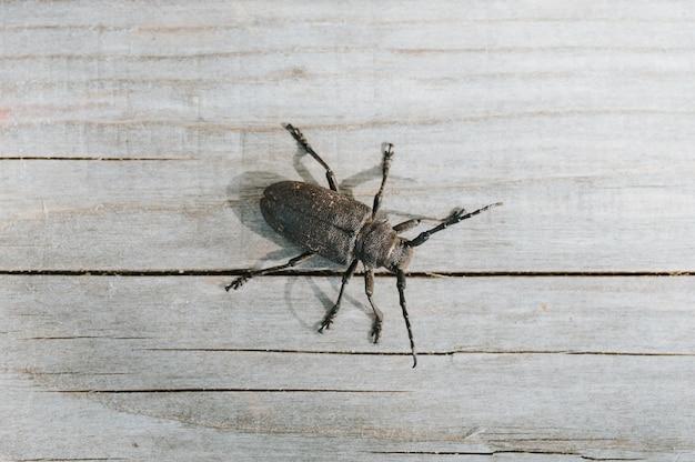 Lamia textor - inseto besouro tecelão em uma placa de madeira