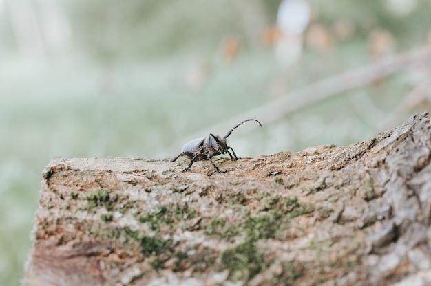 Lamia textor - inseto besouro tecelão na casca de uma árvore