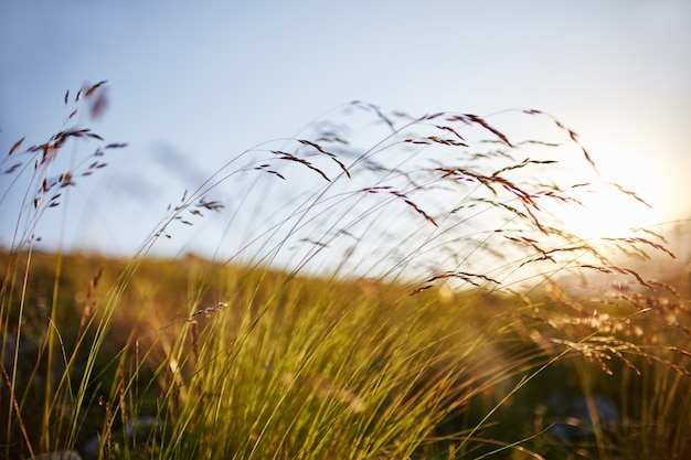 Lâmina de grama balançando ao vento no close up macro da foto do por do sol. espigas contra o sol