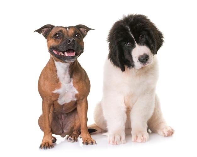 Landseer cachorro e staffie em estúdio