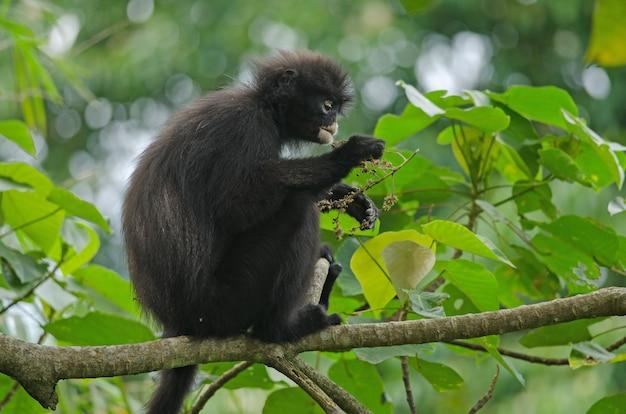 Langur bande negro (presbytis femoralis)