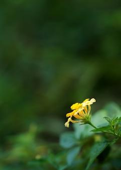 Lantana amarela close-up