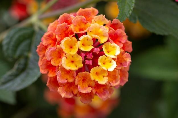 Lantana camara flor