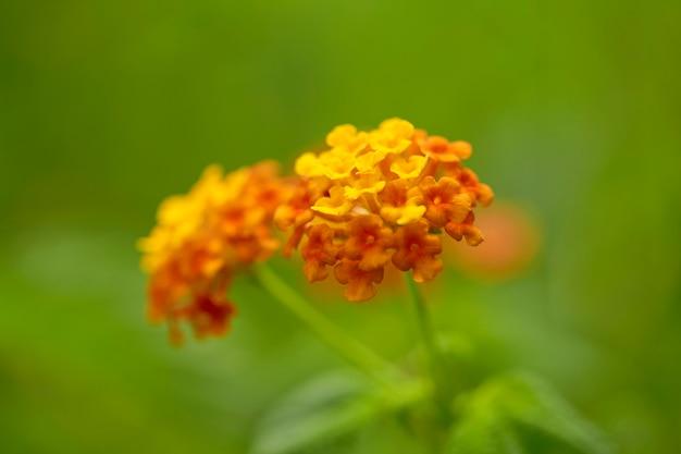 Lantana laranja e amarela das índias ocidentais florescendo no jardim no fundo da natureza