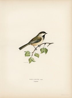 Lappmes (parus cinctus) ilustrado pelos irmãos von wright.