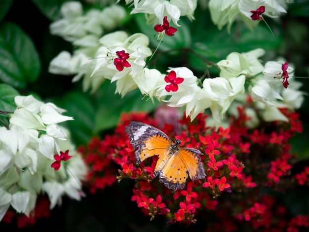 Laranja de asa quebrada borboleta simples tigre (danaus chrysippus chrysippus) na flor vermelha