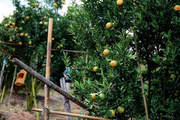 Laranja na árvore da tailândia.