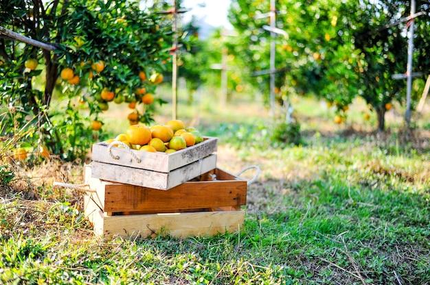 Laranja na caixa não é armazenada. e laranja no jardim cítrico, pronto para ser lançado