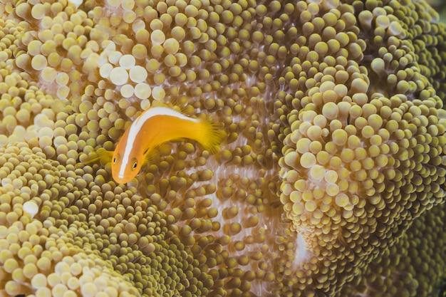 Laranja, peixe, anemone, fundo