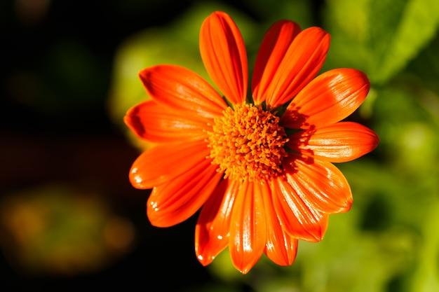 Laranja tithonia diversifolia flor na luz solar