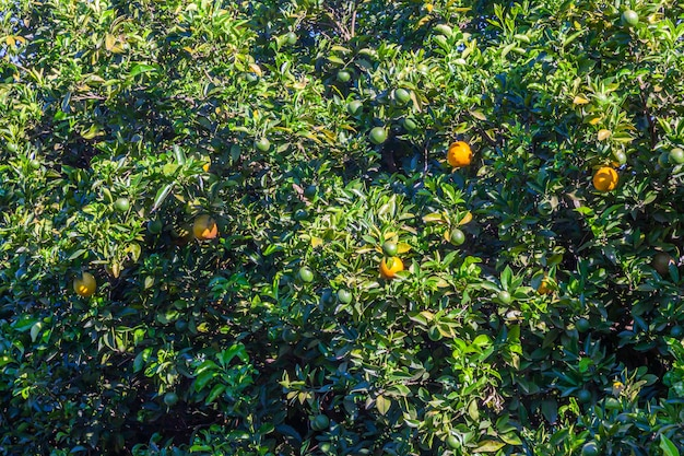 Laranjal no brasil - frutos maduros