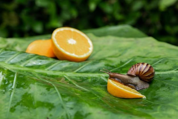 Laranjas cortadas frescas, deitado sobre uma folha verde e um caracol achatina com uma concha marrom frágil, comendo uma fatia de laranja em primeiro plano. conceito de cosmetologia