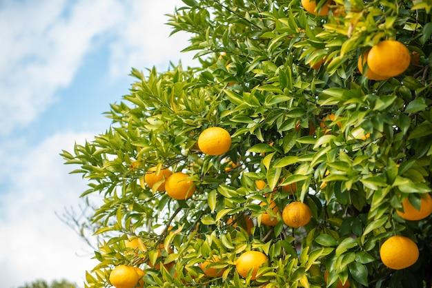 Laranjas frutas com céu azul
