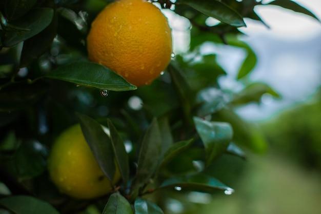 Laranjeira com laranjas verdes no jardim