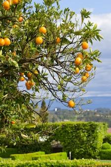 Laranjeira com laranjas