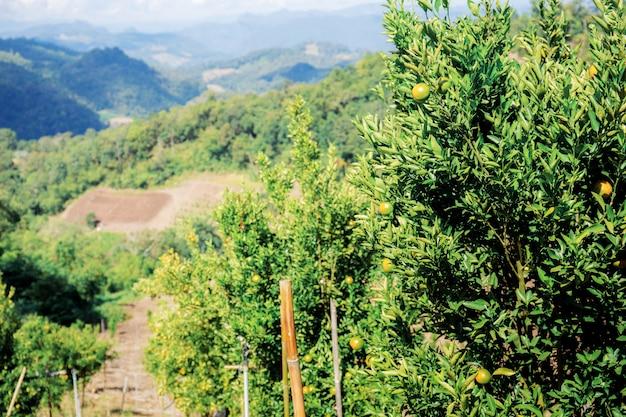 Laranjeira na exploração agrícola no monte.