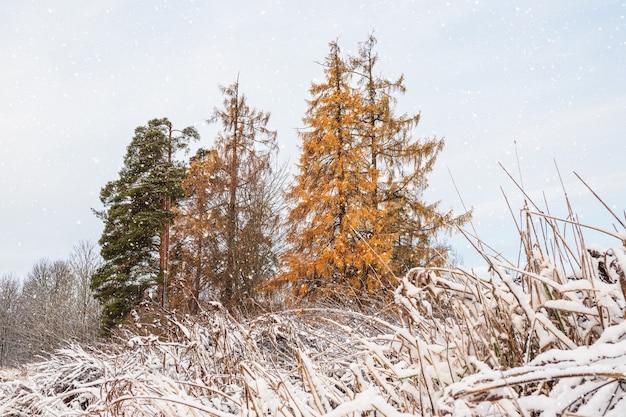 Larício amarelo sob a neve em uma nevasca. galhos do lariço sob a primeira neve.