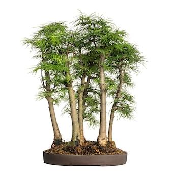 Larício dourado, árvore bonsai, pseudolarix amabilis, isolado no branco