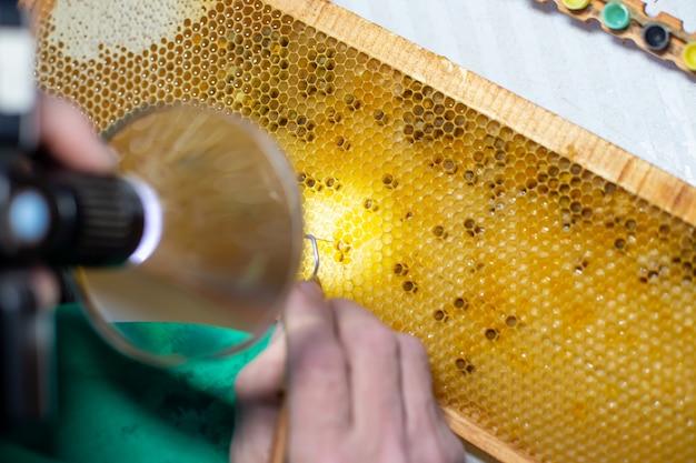 Larva de abelha, selecionada para o cultivo de abelha rainha. ferramenta para escolher larvas de favos de mel em um quadro. rainha da abelha enxertia de larvas em copos de rainha diy. foco seletivo.