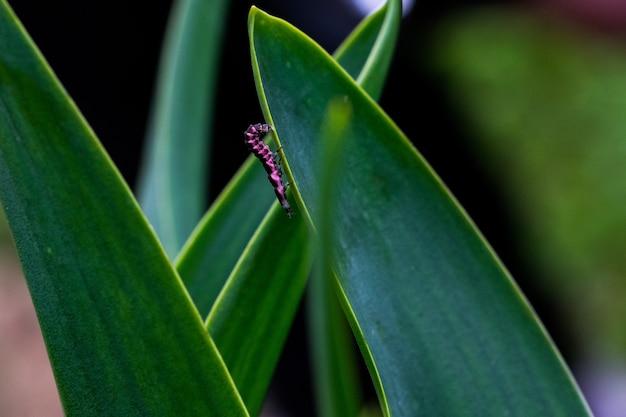 Larva de glow worm rosa e preta lutando para descer a folha de uma planta no interior de malta