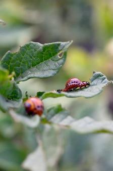 Larvas de besouro de batata de colorado comem folha de batata jovem