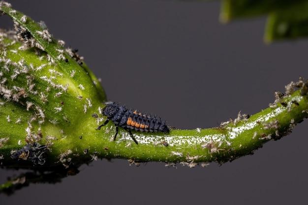 Larvas lady beetle da espécie harmonia axyridis comendo pulgões em uma planta de hibisco