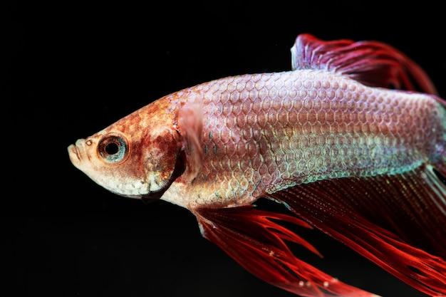 Lateralmente belo peixe betta isolado fundo preto
