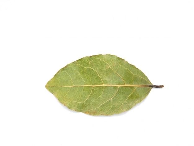 Laurus nobilis isolado no fundo branco