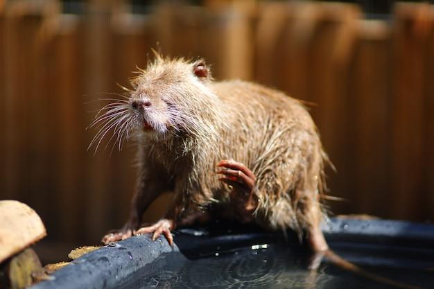 Lavagem de roedores com água de nutria jovem