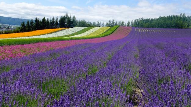 Lavanda e outro campo de flores em hokkaido, japão - fundo de natureza