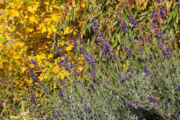 Lavanda em um jardim botânico de outono