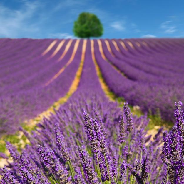 Lavanda flor desabrochando campos perfumados