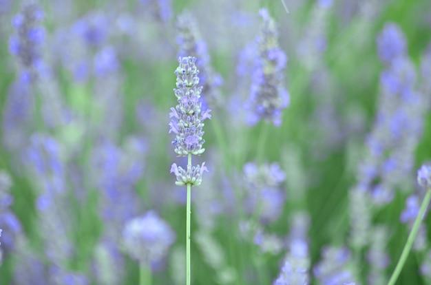 Lavanda ou lavendula flores do campo com especiarias verdes com azul e roxo da família lamiaceae
