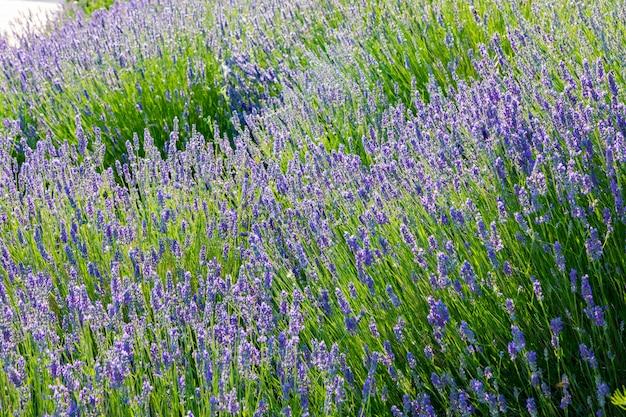 Lavanda, preciosas plantas ornamentais, selvagens com flores lilás, azuladas, azuis.