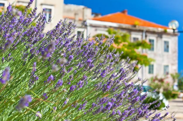 Lavender bush na town street. tiro horizontal