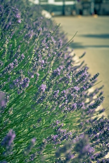 Lavender bush no canteiro de flores da rua. foto tonificada em close-up