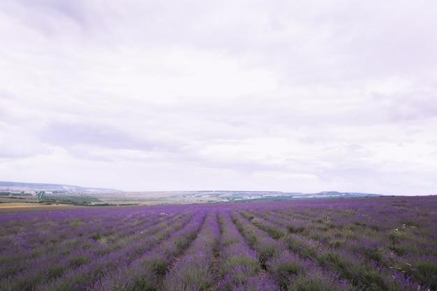 Lavender crimea
